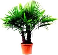 palmier leclerc