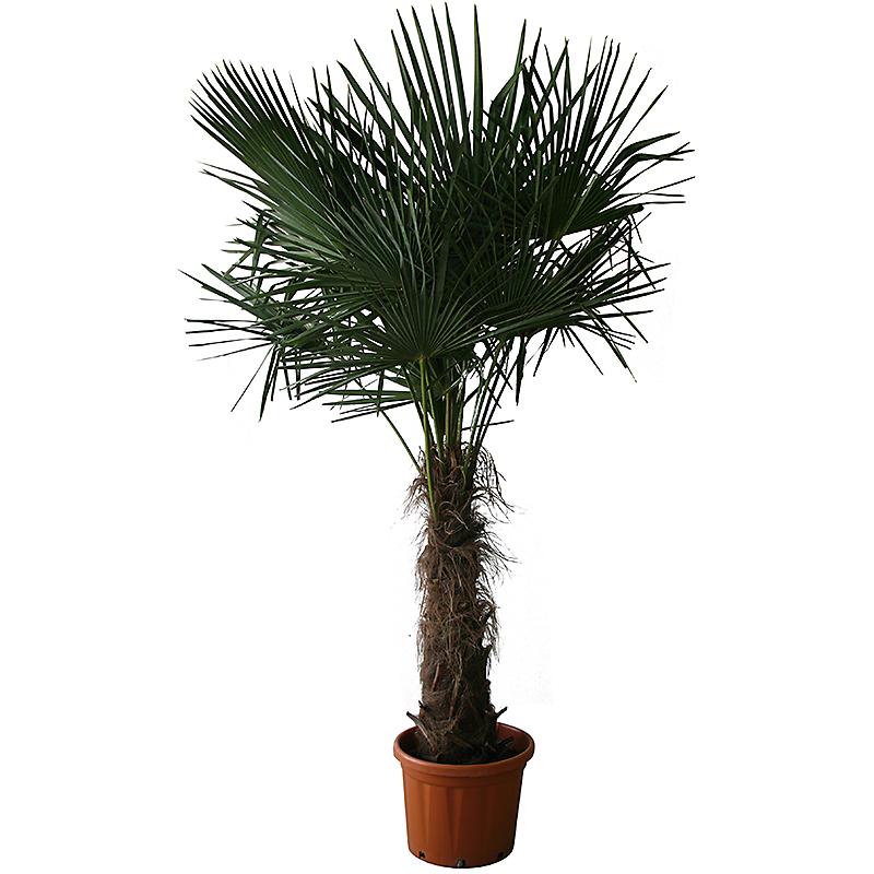 Palmier de Chine 10/15 m
