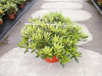 RHODODENDRON ROUGE 23 L