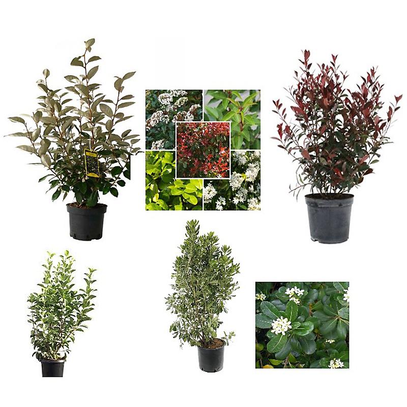 Lot 4 arbustes persistants