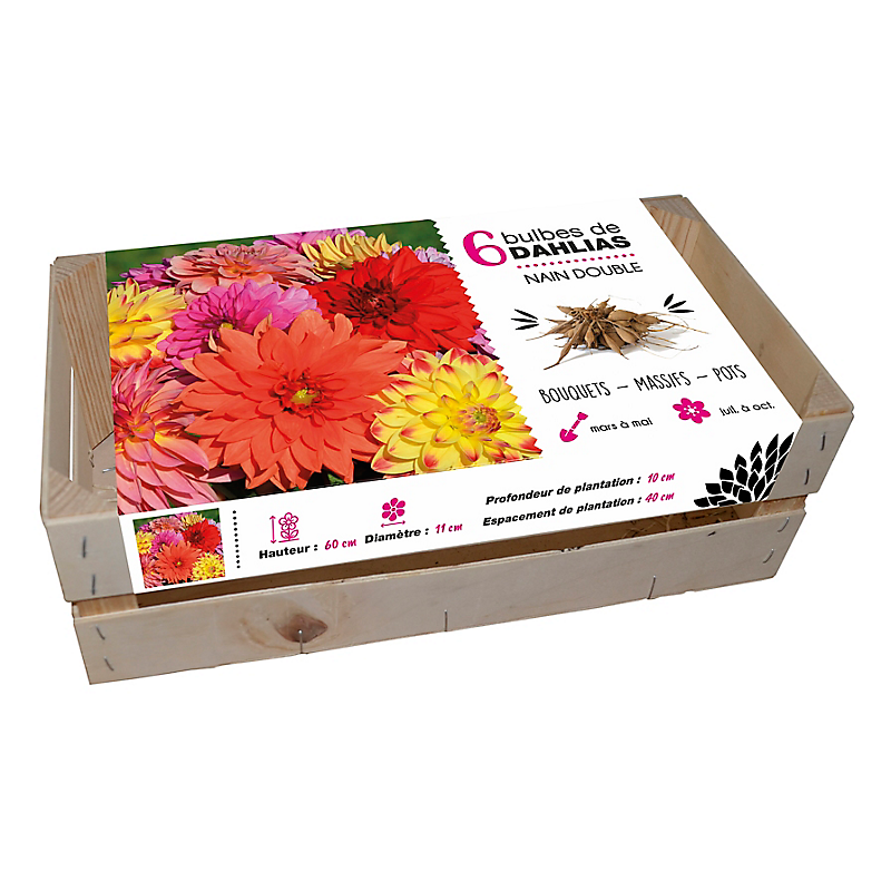 Assortiment 6 dahlias nains doubles