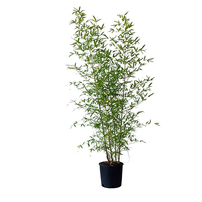 Lot de 5 Bambous dorés Phyllostachys aurea 10L