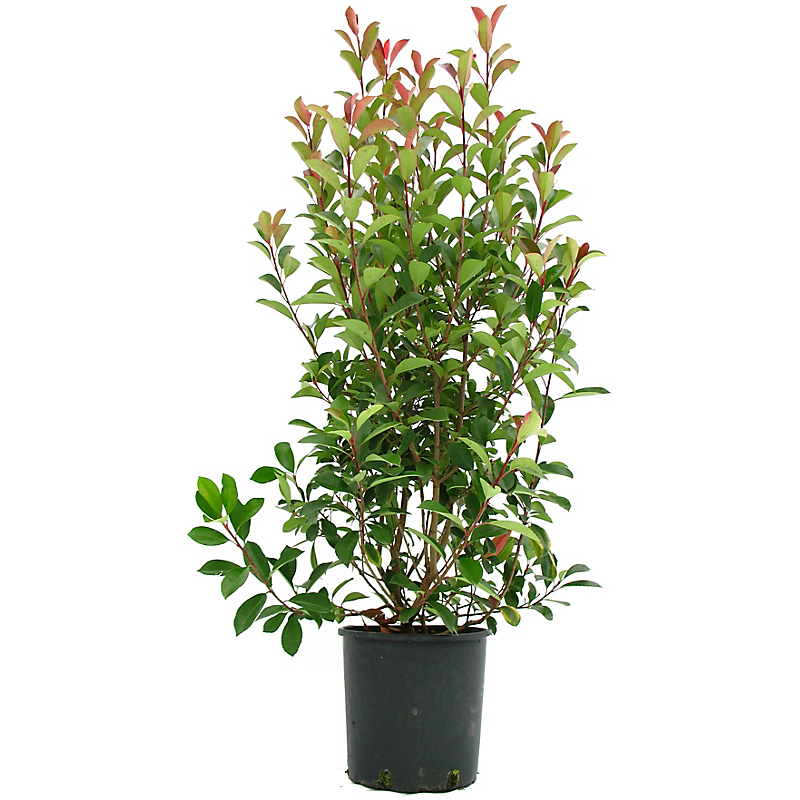 Lot de 5 Photinia 18L