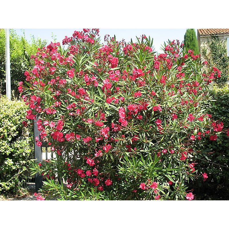 Laurier rose 140x160