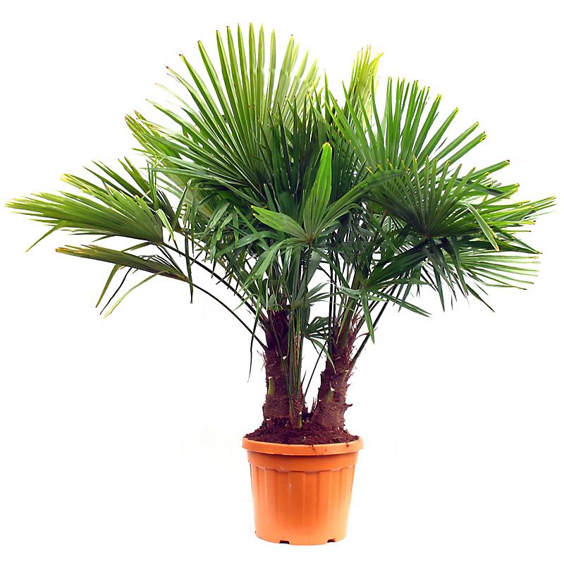 Palmier de Chine multitroncs CHAMAEROPS EXCELSA