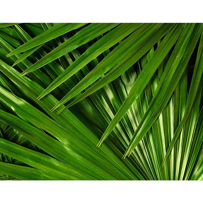 Palmier de Chine multitroncs