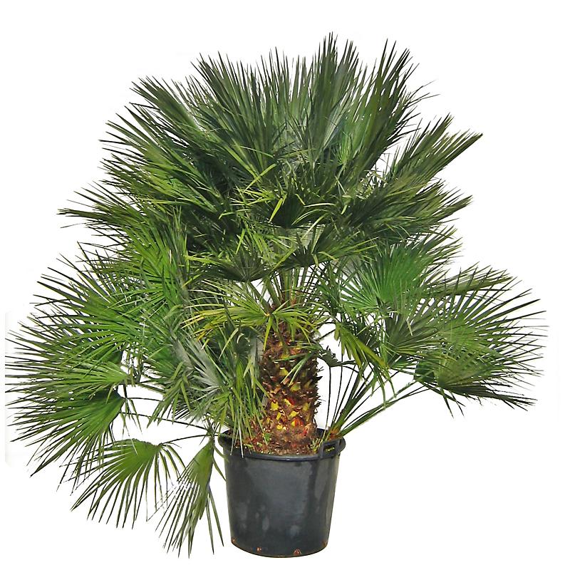 Palmier nain 70 l