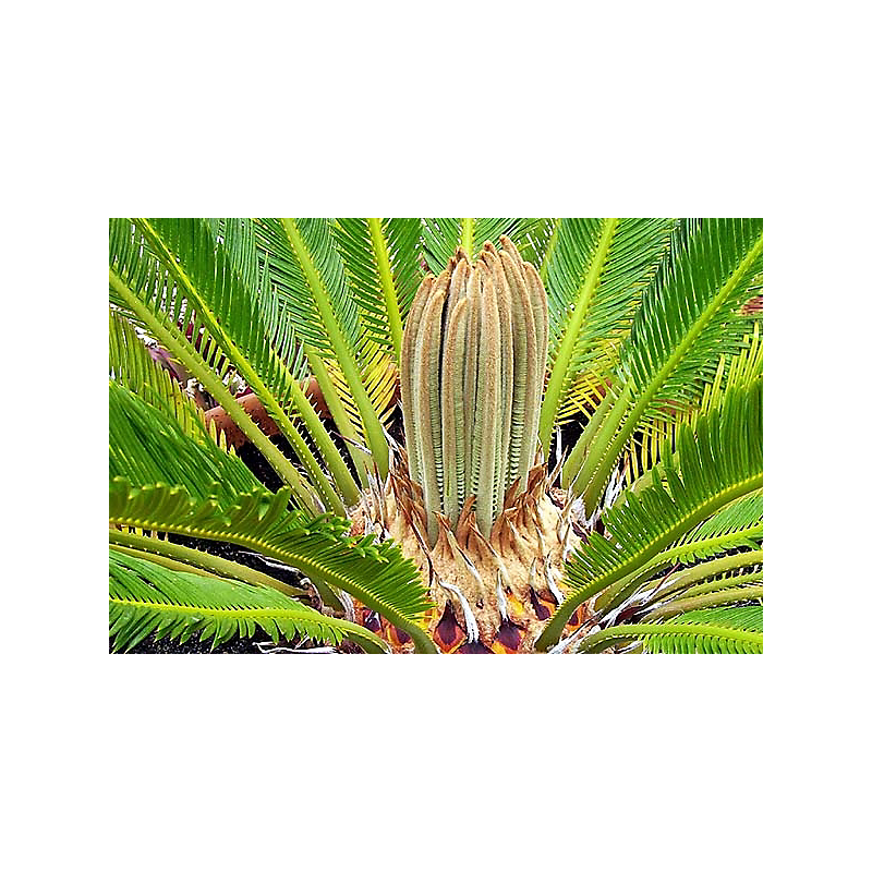 Palmier Cycas revoluta 70 L
