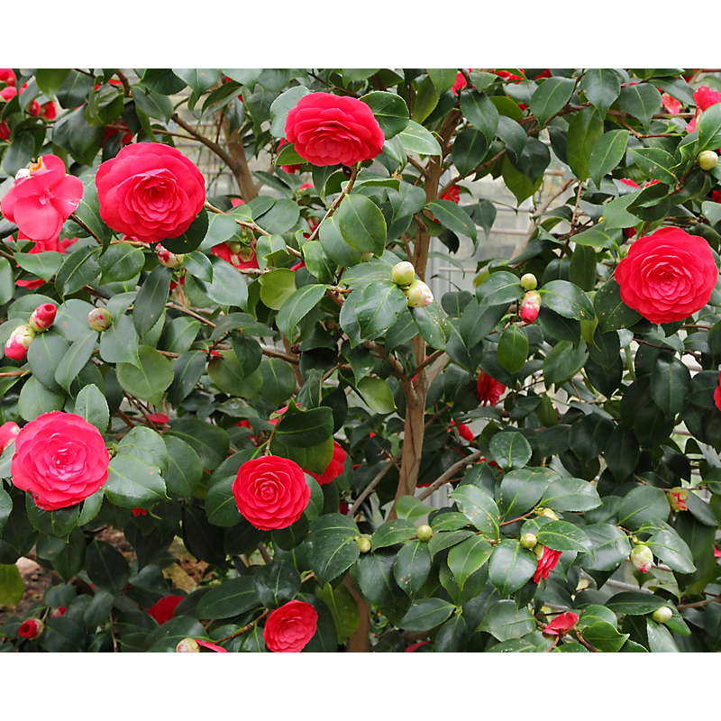 Camélia du Japon rouge