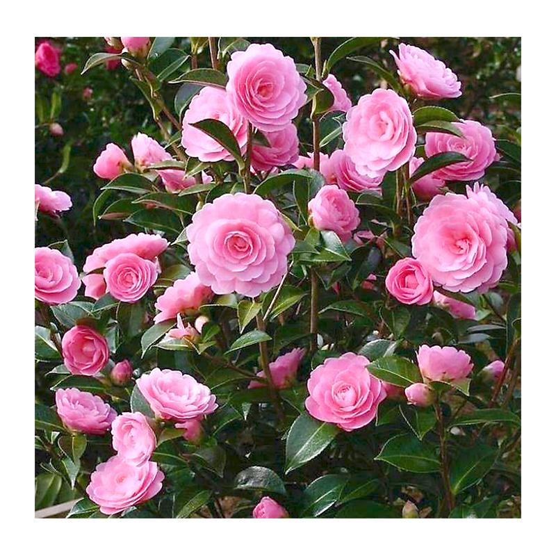 Camélia du Japon rose