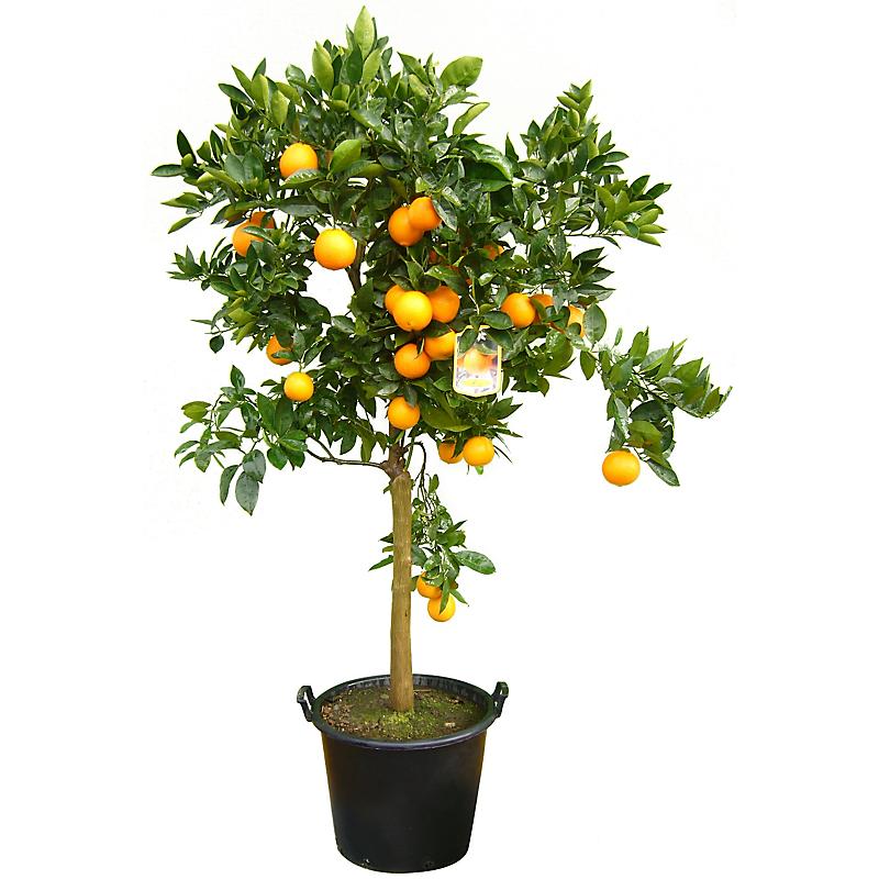Oranger 180 cm 40 l
