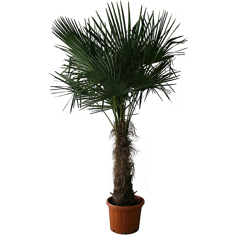 Palmier de Chine CHAMAEROPS EXCELSA 45 L