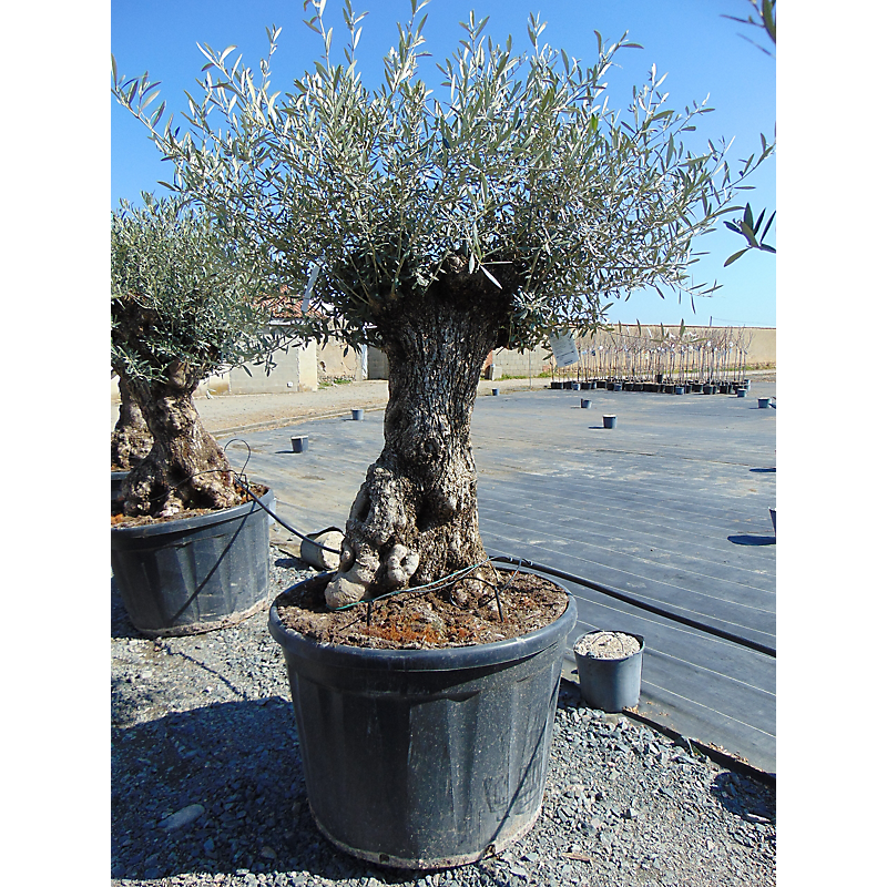 Olivier Olea Europaea 290L ⌀80/100 cm