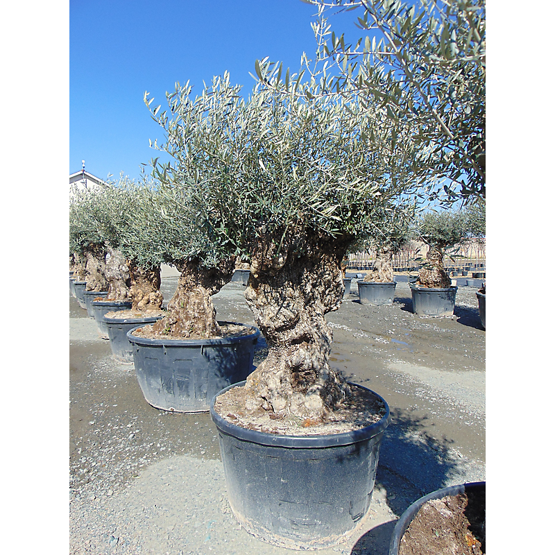 Olivier Olea Europaea 290L ⌀100/125 cm