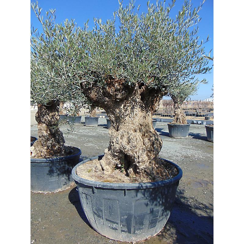 Olivier Olea Europaea 500 L ⌀150/175