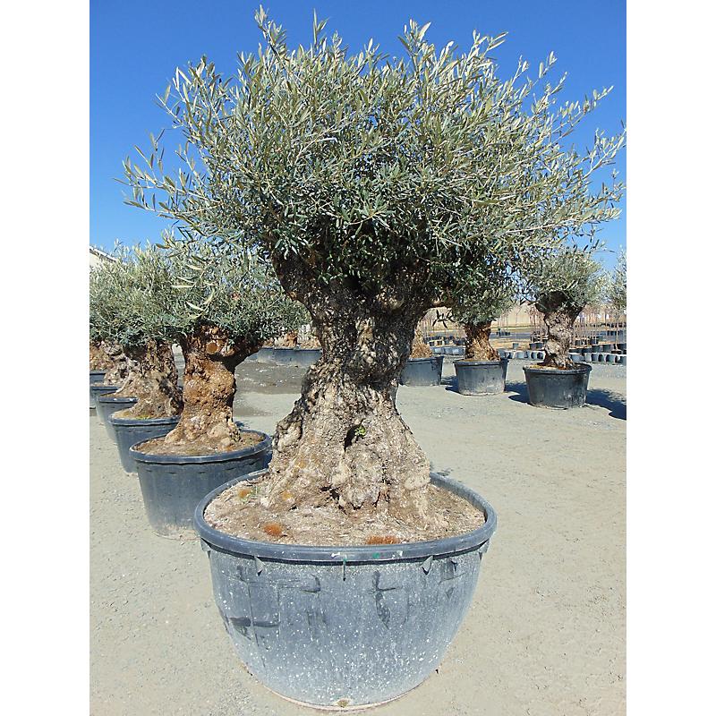 Olivier Olea Europaea 500 L ⌀80/100 cm