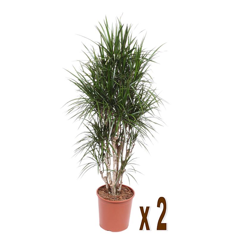 Lot de 2 dracaena marginata ramifié H.150 cm en pot Ø30 cm