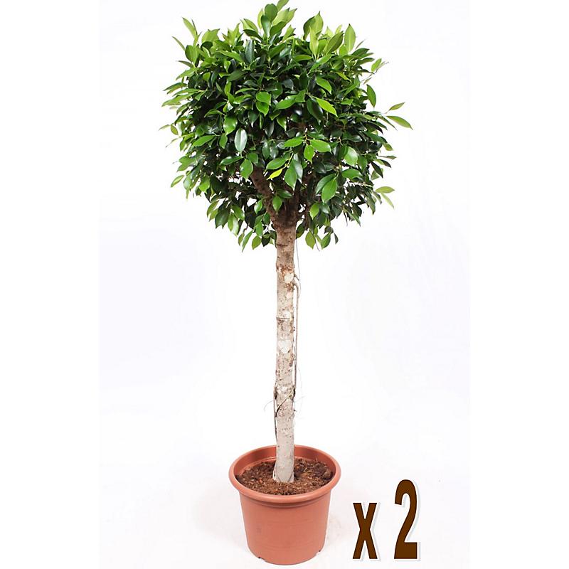 Ficus Nitida Tige H.170 cm en pot Ø40cm