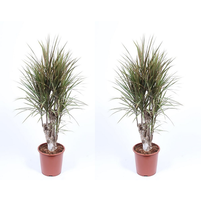 Lot de 2 dracaena marginata bicolore H.140 cm Ø27 cm